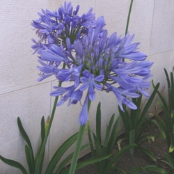 Mary S Garden Patch Agapanthus Blue Donau