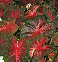 Red Flash Caladium