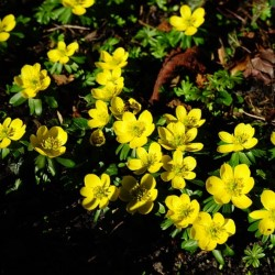 Eranthis /'Cilicia/'  Winter Aconite Bulbs x 25 Spring flowering bulb
