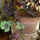 Oxalis Tetraphylla in a pot with Regnellii
