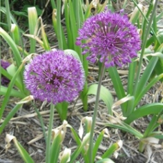 Gladiator Allium
