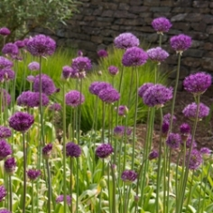 Purple Sensation Allium