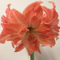 Lady Jane Amaryllis