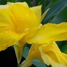 King City Gold Giant Canna