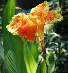 Yellow King Humbert Giant Canna