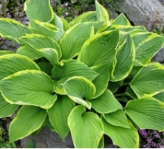 Albo Marginata Hosta Clumps