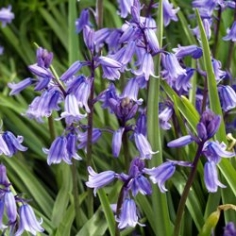 English Bluebells (Hyacinthoides non-scripta)