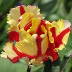 Flaming Parrot Tulip