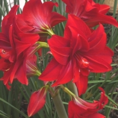 Double Delicious Amaryllis