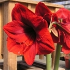 Amaryllis for the Garden