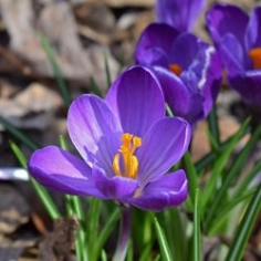 Barr's Purple Crocus