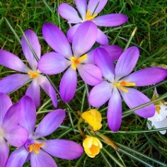 Whitewell Purple Crocus