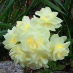 Yellow Cheerfulness Daffodil