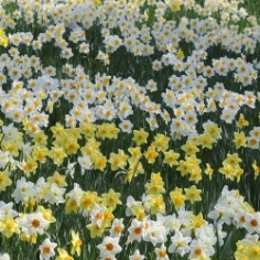 Naturalizing Daffodils by the Bushel