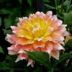 Peaches & Cream Dahlia