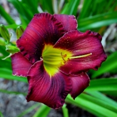 Breathless Beauty Daylily