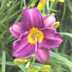Grape Magic Daylily