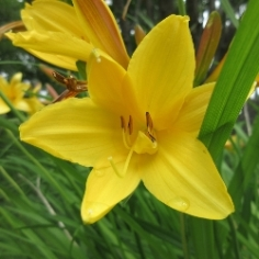 Yellowstone Daylily