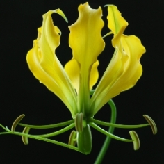 Gloriosa Greenei