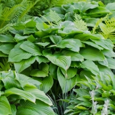 Green Leaf Hosta By the Bushel