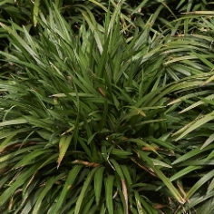 Liriope Spicata by the Bushel