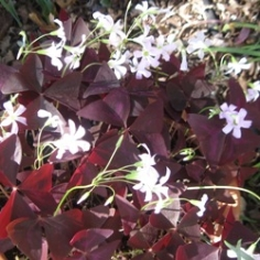 Oxalis Regnellii Triangularis