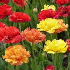 Mixed Peony-Flowered Tulips