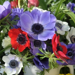 DeCaen Anemone Mixed