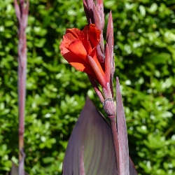 Red King Humbert Giant Canna