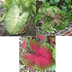 Standard Caladium Collection