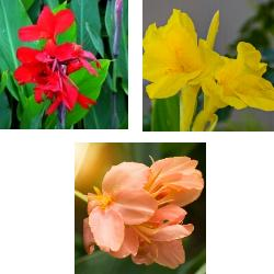 Dwarf Canna Collection