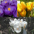 Giant Crocus Collection