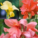 Tall Canna Collection