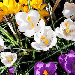 Mixed Species (Snow) Crocus
