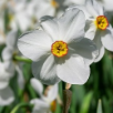 Poeticus Daffodils