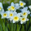 Large Cup Daffodils