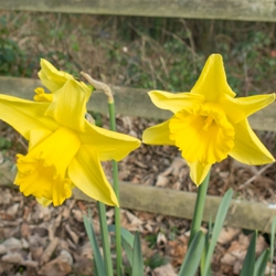 Counsellor Daffodil