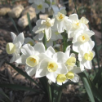 Growing Daffodils in the South