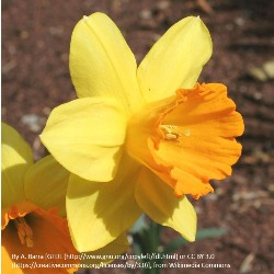 Fortune Daffodils by the Bushel
