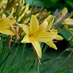 Daylilies by the Bushel