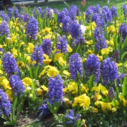 Blue Jacket Hyacinth