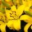 Yellow Asiatic Lily