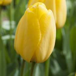 Golden Parade Tulip