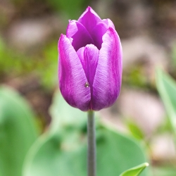 Violet Beauty Tulip
