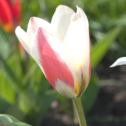 Heart's Delight Tulip