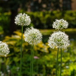 Mt. Everest Allium