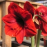 Red Amaryllis for the Garden