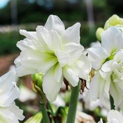 Amaryllis for the Garden Collection