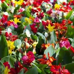 Cannas by the Bushel