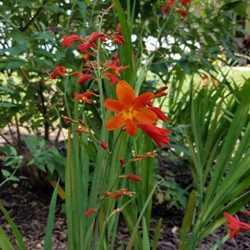 Orange Lucifer Crocosmia